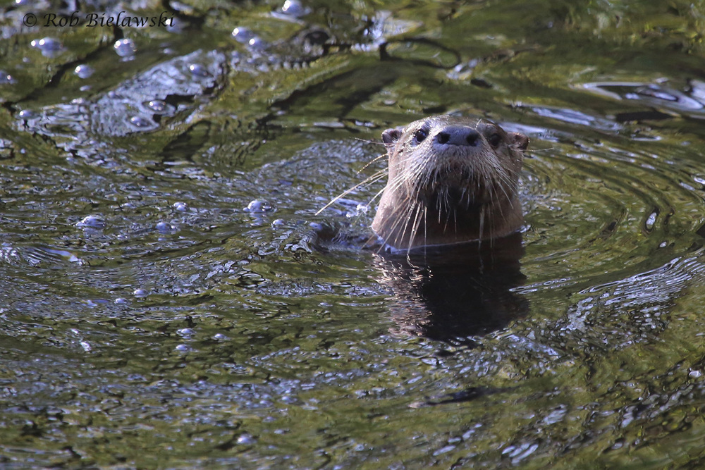 River Otter / 9 Apr 2016 / Great Dismal Swamp NWR, Suffolk, VA