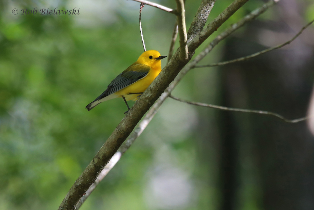 Prothonotary Warbler / 9 Apr 2016 / Great Dismal Swamp NWR, Suffolk, VA