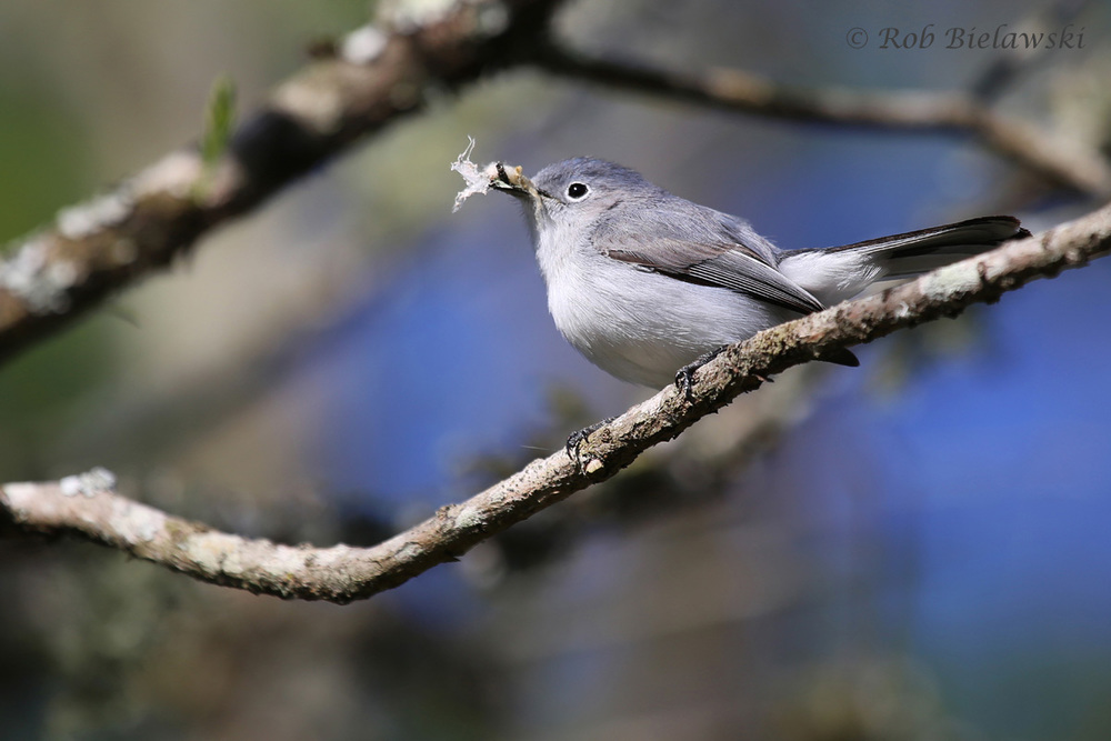 Blue-gray Gnatcatcher / 10 Apr 2016 / Milldam Creek Boardwalk