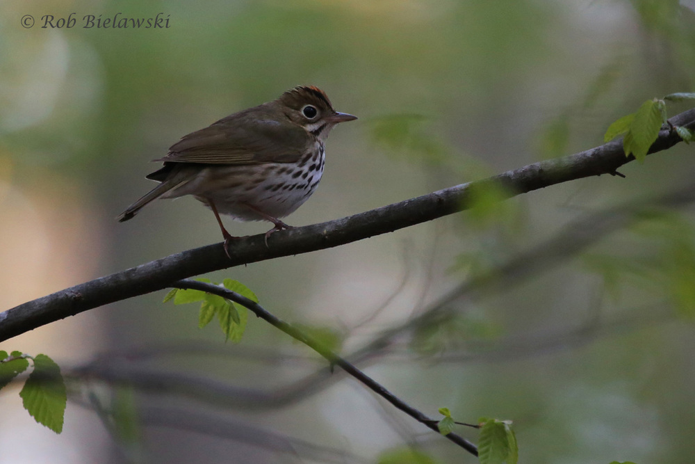 Ovenbird / 10 Apr 2016 / Stumpy Lake NA