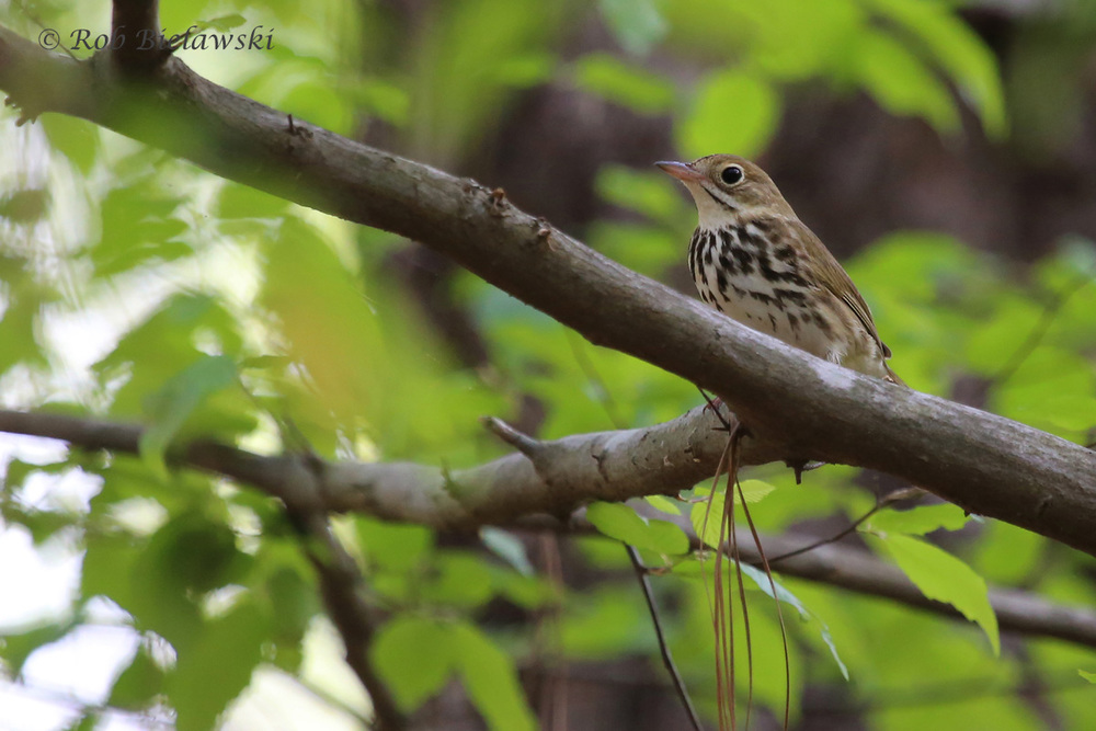 Ovenbird / 19 Apr 2016 / Stumpy Lake NA
