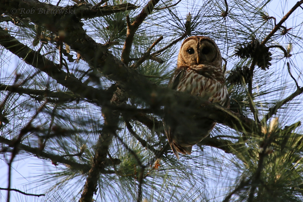 Barred Owl / 19 Apr 2016 / Stumpy Lake NA