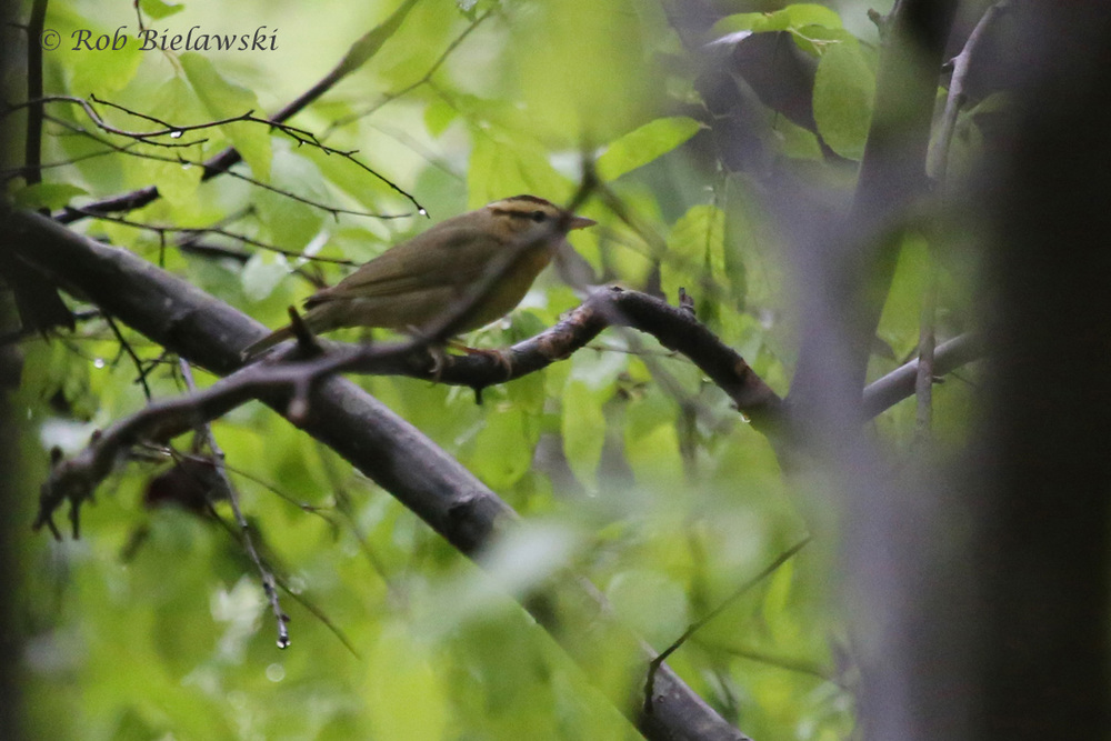 Worm-eating Warbler / 23 Apr 2016 / Stumpy Lake NA