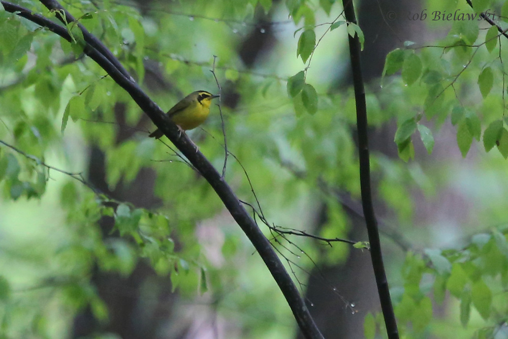 Kentucky Warbler / 23 Apr 2016 / Stumpy Lake NA
