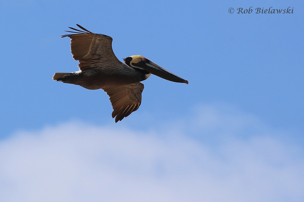 Brown Pelican soaring over the beach!