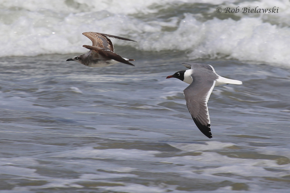 Immature (left) & adult (right) Laughing Gulls along the beach!