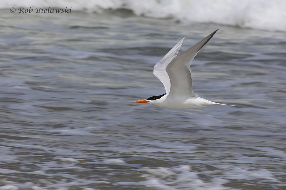Breeding plumaged Royal Tern flyby!