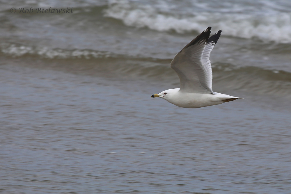 Adult Ring-billed Gull in flight!