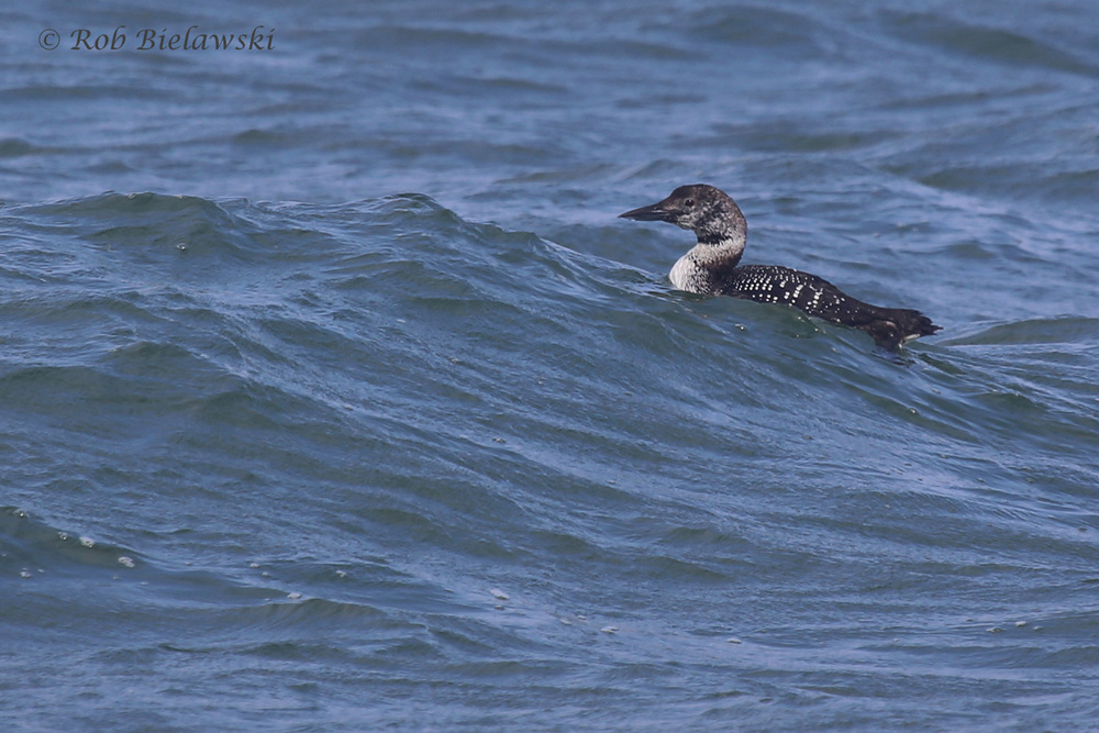 Common Loon in the middle of its molt to breeding plumage!