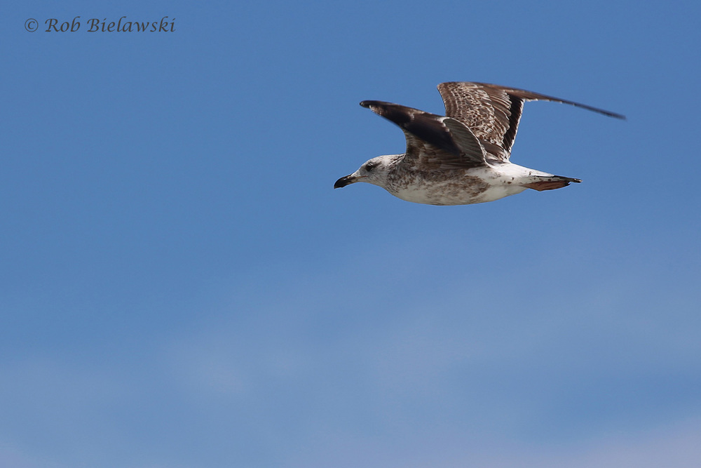 5). Great Black-backed Gull