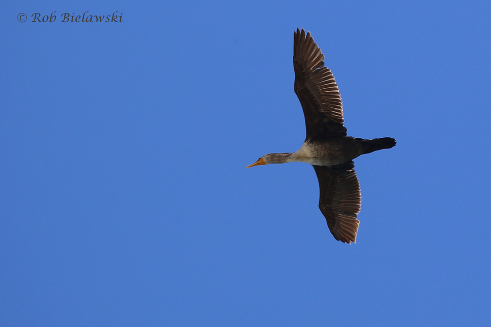 6). Double-crested Cormorant