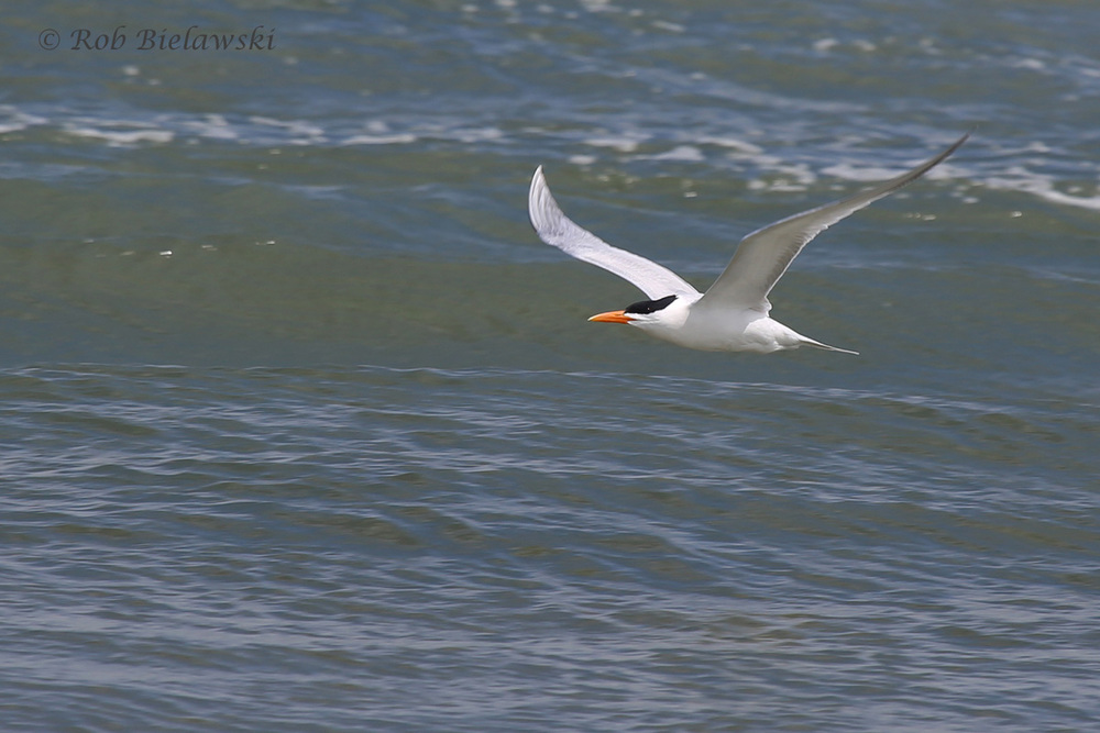 12). Royal Tern