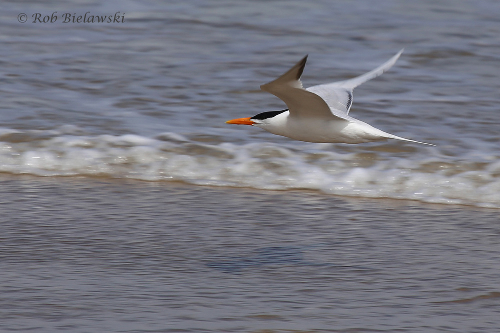 14). Royal Tern