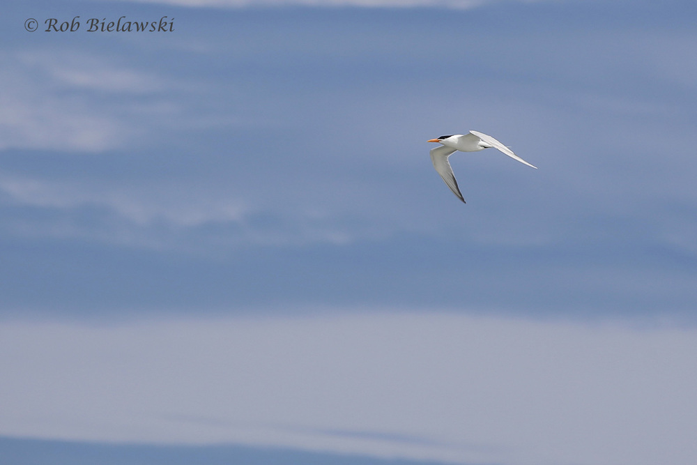 15). Royal Tern