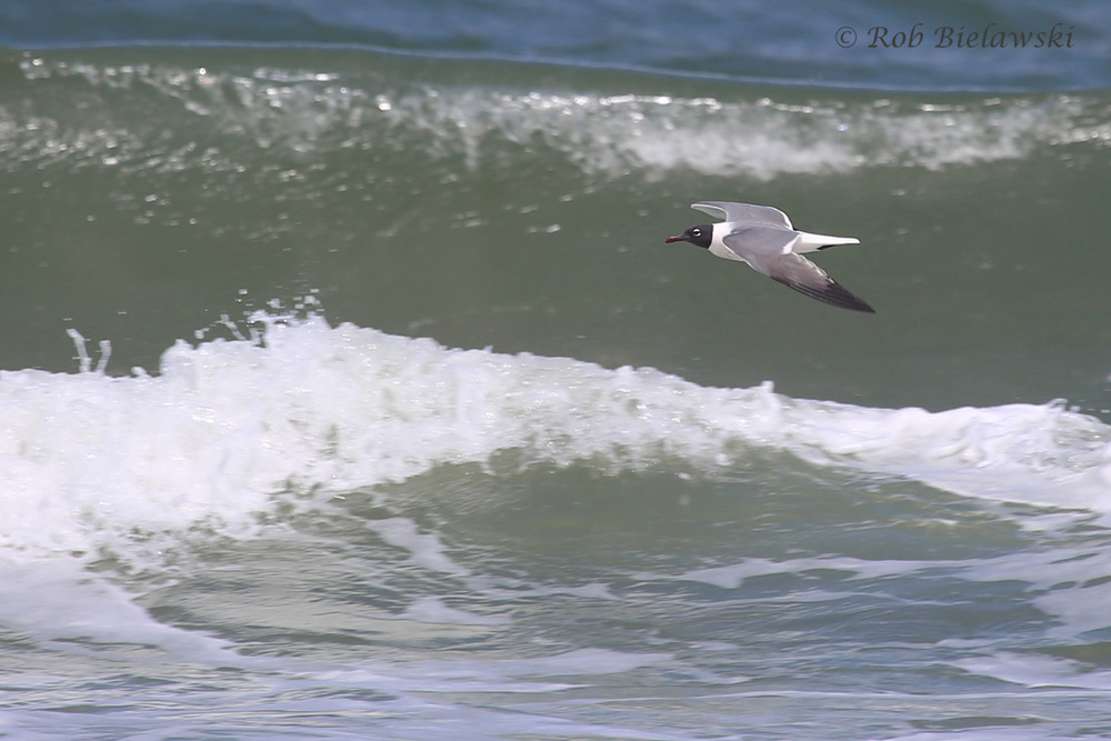16). Laughing Gull