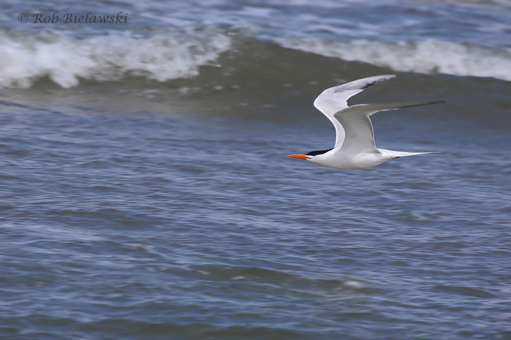19). Royal Tern