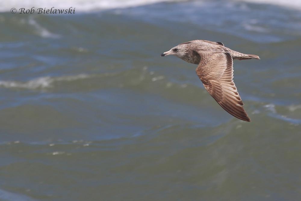 21). Herring Gull