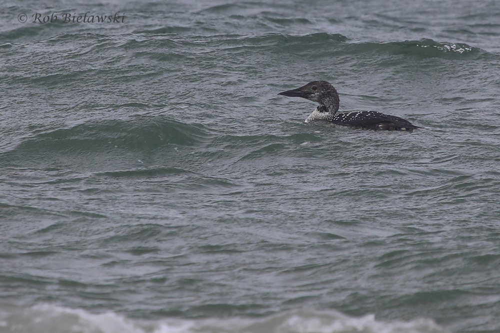 27). Common Loon