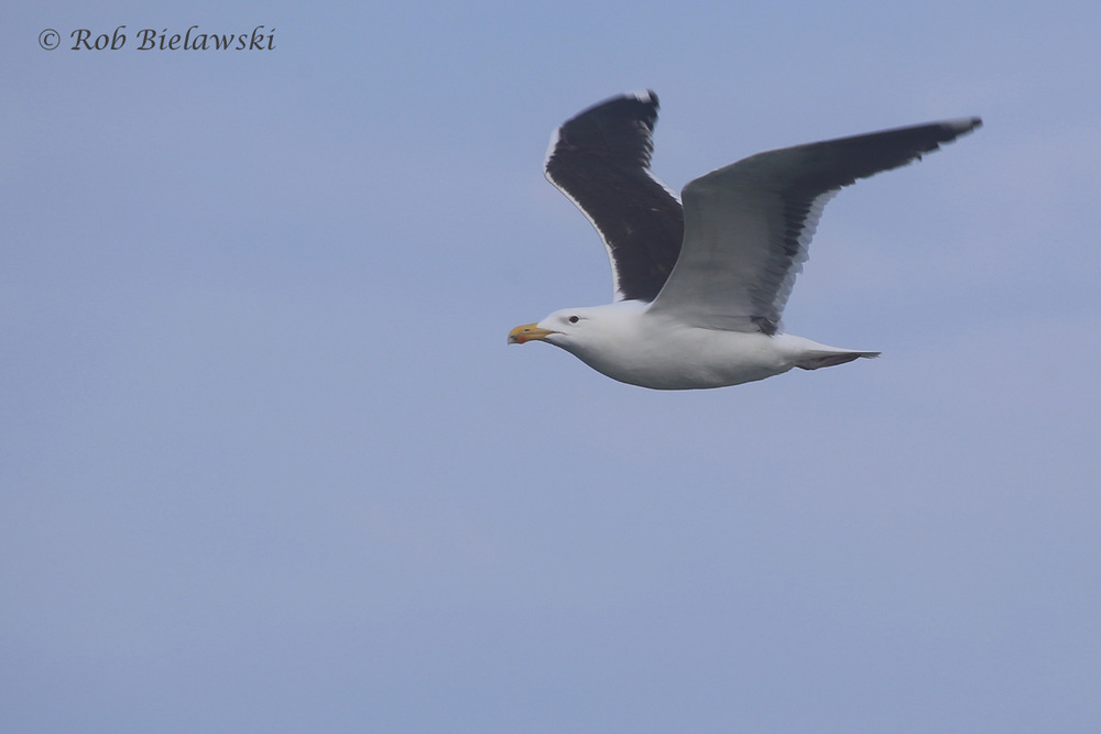 29). Great Black-backed Gull