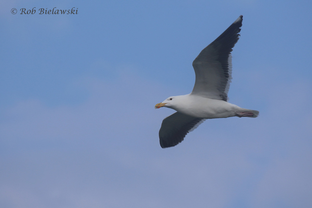 30). Great Black-backed Gull