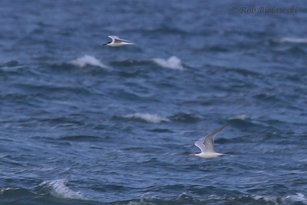 With Royal Tern (bottom right) / 23 Apr 2016 / Back Bay NWR
