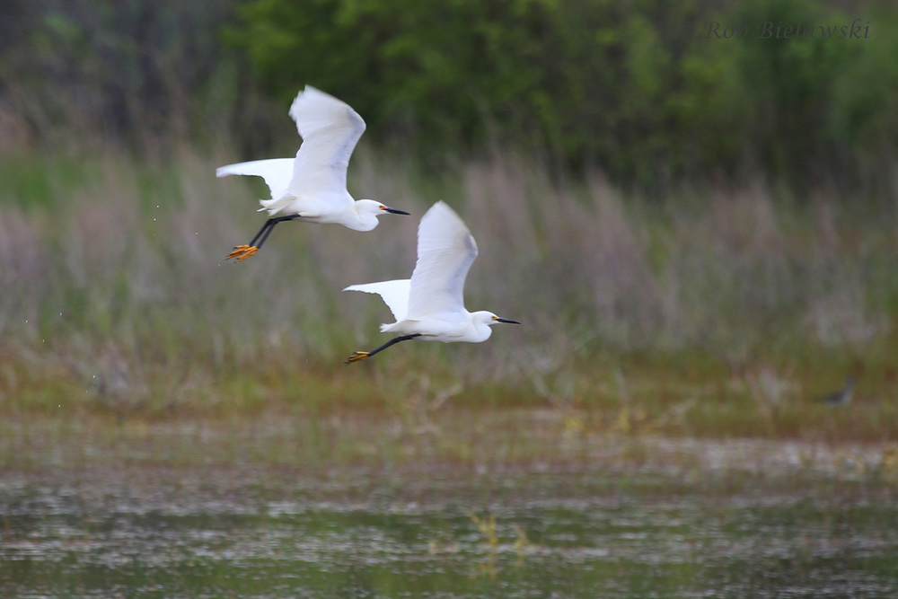 Snowy Egrets / 1 May 2016 / Princess Anne WMA (Whitehurst Tract)
