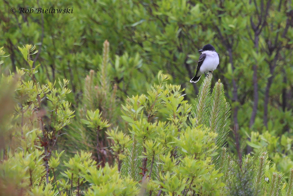 Eastern Kingbird / 1 May 2016 / Princess Anne WMA (Whitehurst Tract)