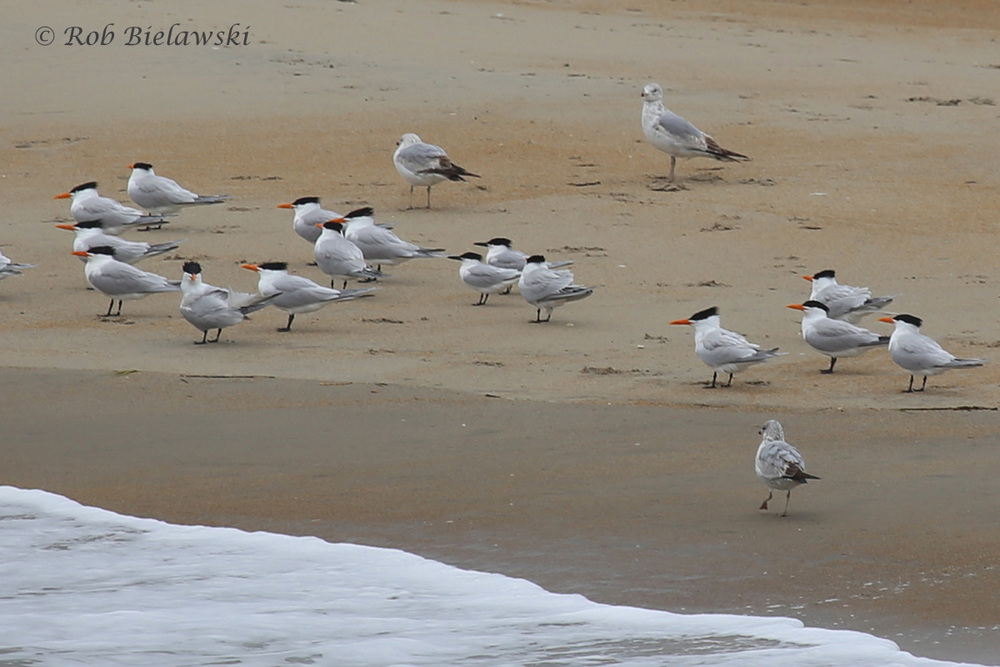 Royal & Sandwich Terns and Ring-billed Gulls / 1 May 2016 / Rudee Inlet