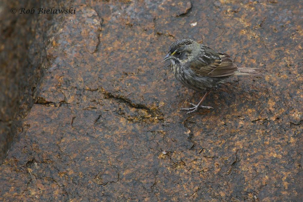 Seaside Sparrow / 1 May 2016 / Rudee Inlet