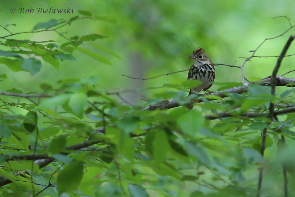 Ovenbird / 2 May 2016 / Stumpy Lake NA