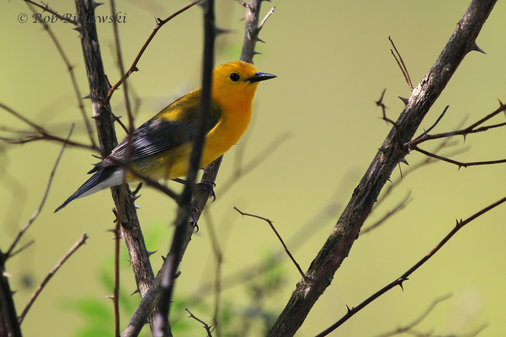 Prothonotary Warbler / 2 May 2016 / Stumpy Lake NA