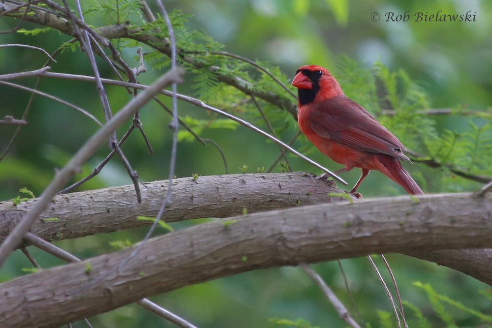 Northern Cardinal / 2 May 2016 / Stumpy Lake NA