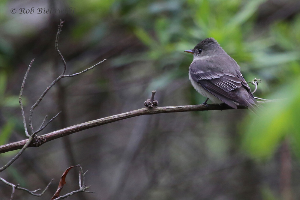 Eastern Wood-Pewee / 4 May 2016 / Back Bay NWR