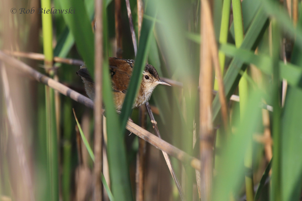 Marsh Wren / 7 May 2016 / Back Bay NWR