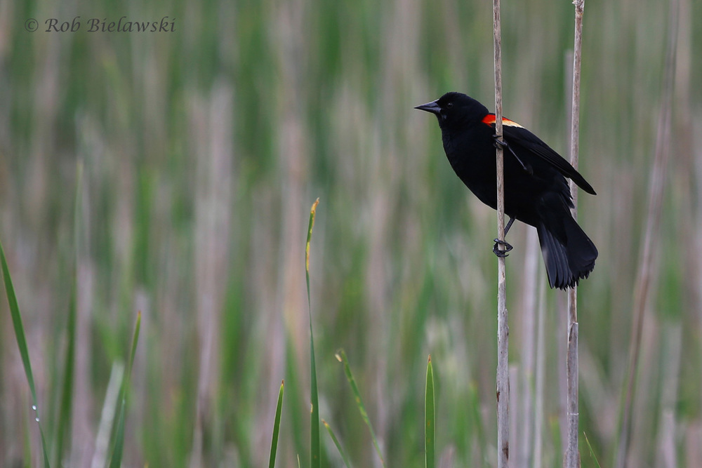 Red-winged Blackbird / 7 May 2016 / Back Bay NWR