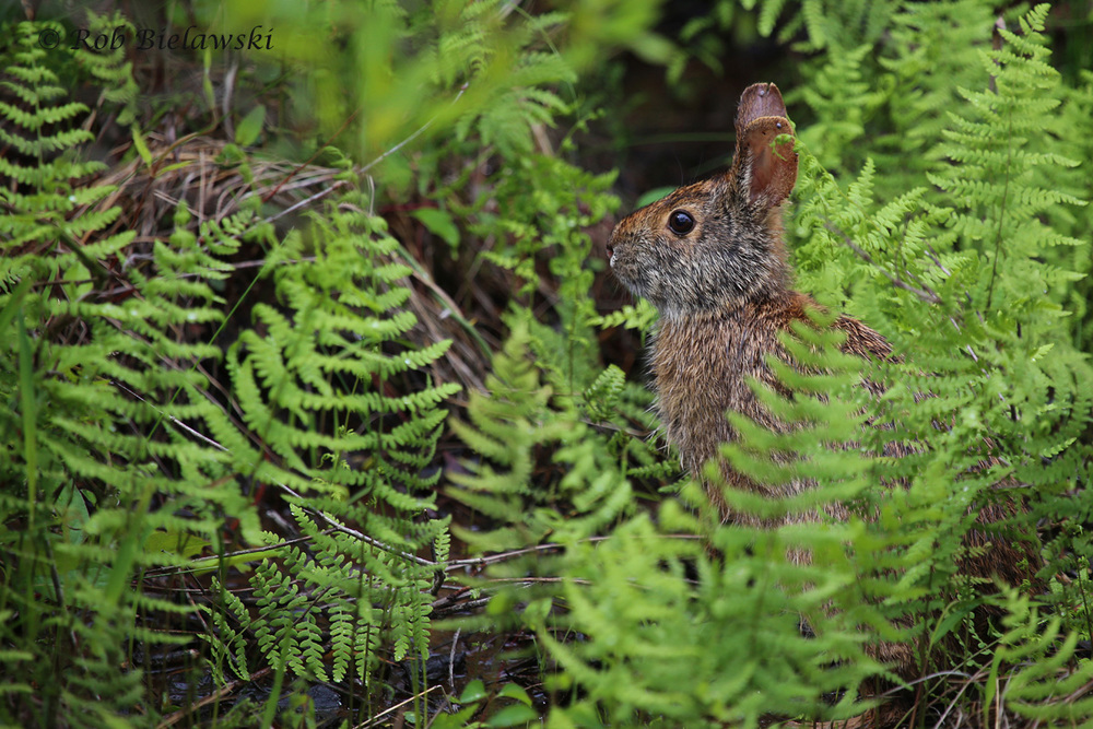 Marsh Rabbit / 7 May 2016 / Back Bay NWR