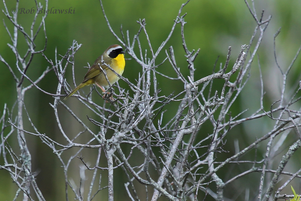 Common Yellowthroat / 7 May 2016 / Back Bay NWR