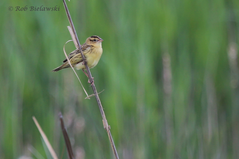 Bobolink / 7 May 2016 / Back Bay NWR