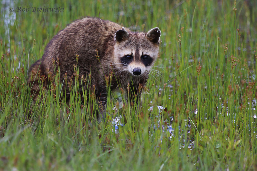 Raccoon / 7 May 2016 / Back Bay NWR