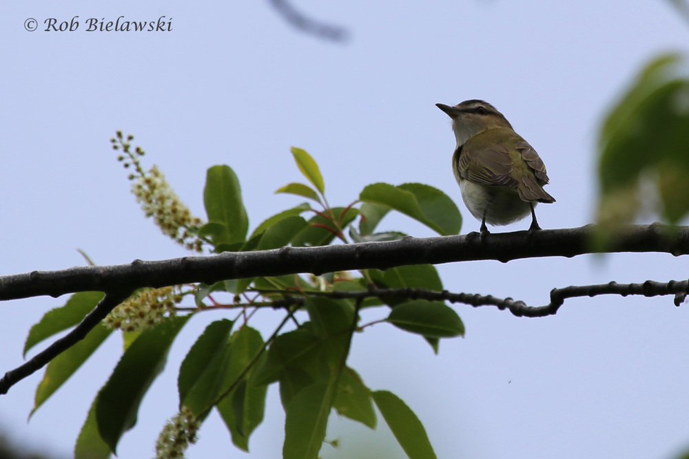 Red-eyed Vireo / 7 May 2016 / Back Bay NWR