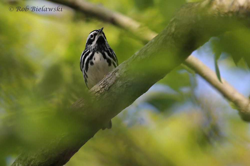 Black-and-white Warbler / 11 May 2016 / Back Bay NWR