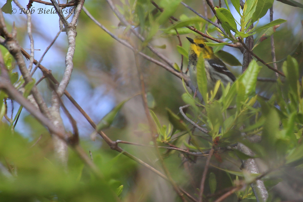 Black-throated Green Warbler / 11 May 2016 / Back Bay NWR