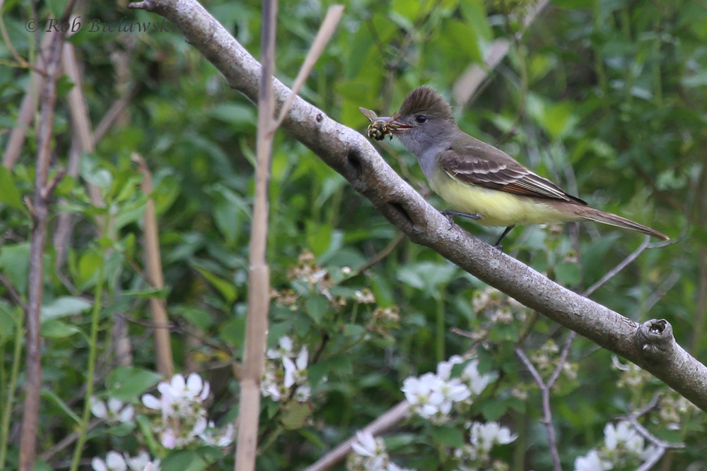 Great Crested Flycatcher / 11 May 2016 / Back Bay NWR