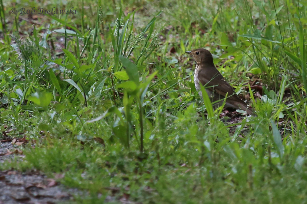 Swainson's Thrush / 11 May 2016 / Back Bay NWR