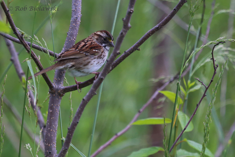 White-throated Sparrow / 11 May 2016 / Back Bay NWR