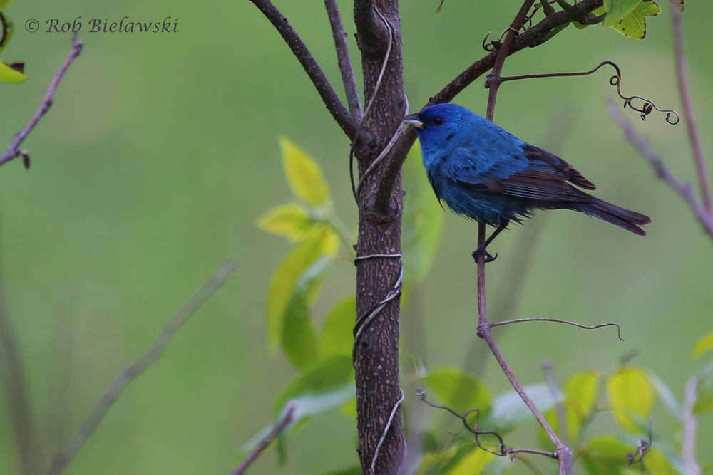 Indigo Bunting / 11 May 2016 / Back Bay NWR