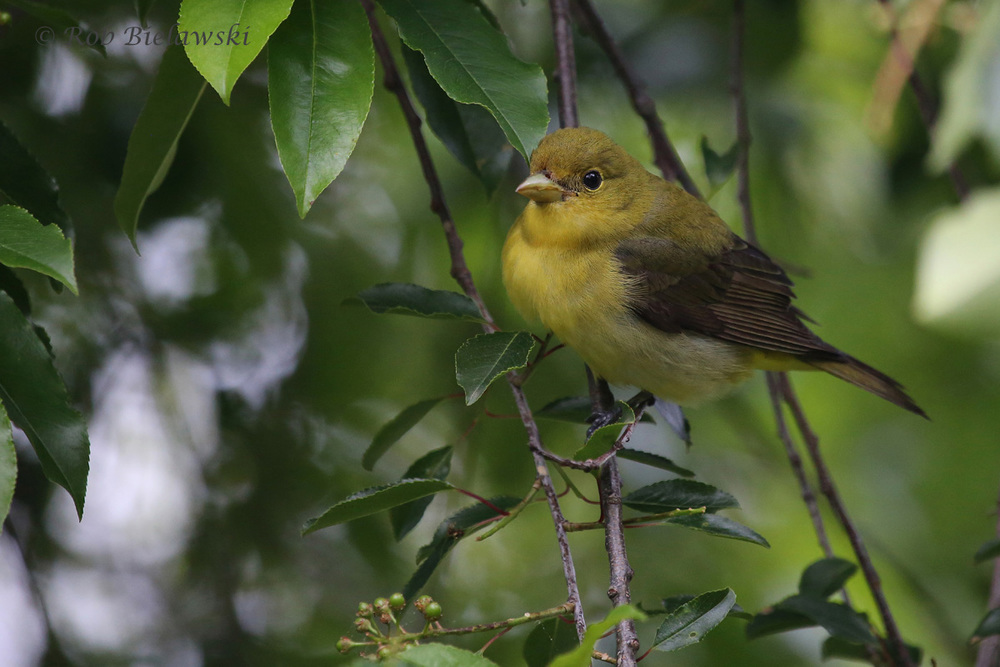 Scarlet Tanager / 11 May 2016 / Back Bay NWR