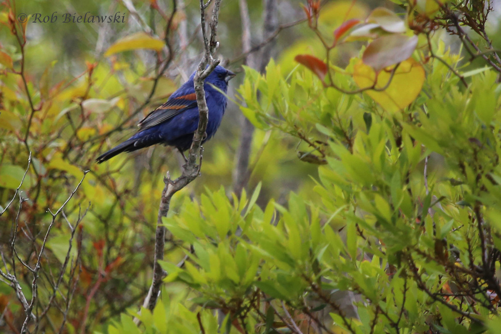 Blue Grosbeak / 11 May 2016 / Back Bay NWR