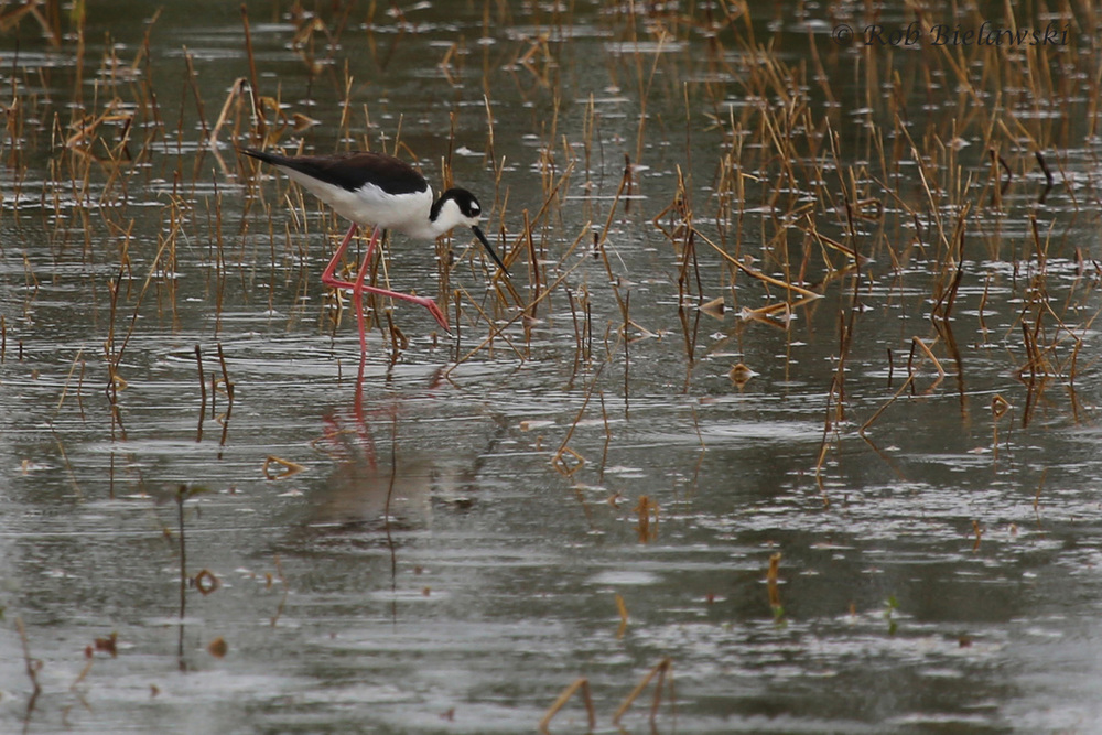 Black-necked Stilt / 17 May 2016 / Princess Anne WMA Beasley Tract