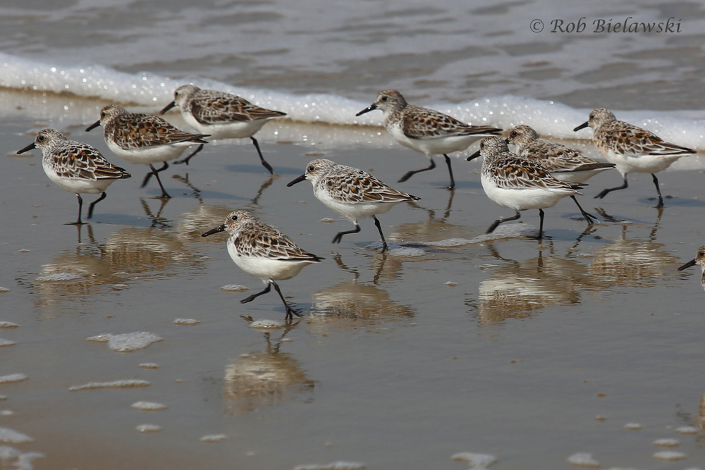 Sanderlings / 20 May 2016 / Back Bay NWR